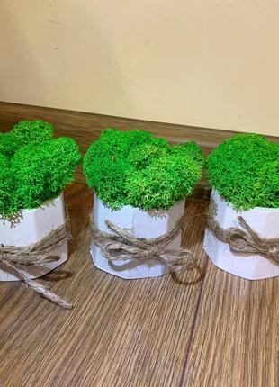 Кашпо з стабілізованим мохом. ягель