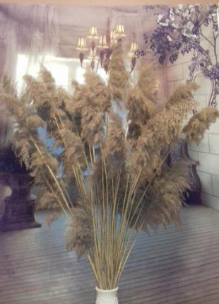 Набор сухоцветов тростник